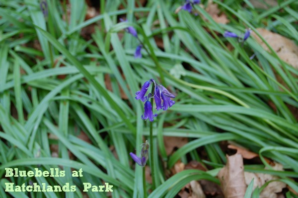 Bluebells at Hatchlands Park National Trust