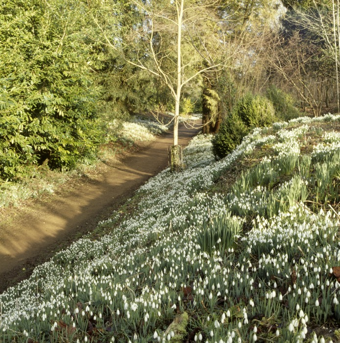 Kingston Lacy, Lady walk snowdrops©National Trust Images Richard Pink