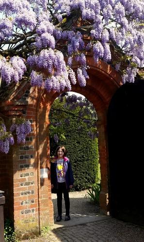 Loseley Park wisteria